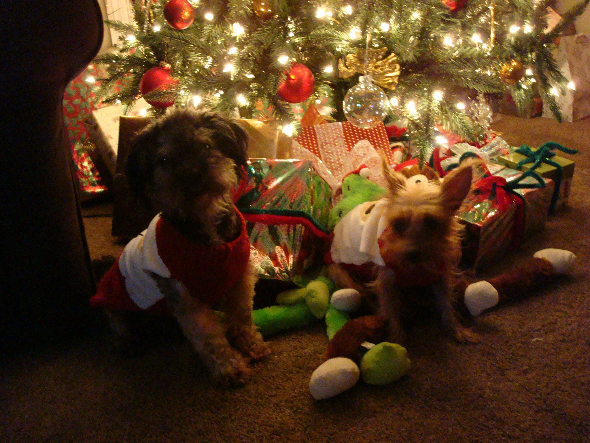 Tucker (Yorkie) and Nip (Peekapoo) belong to Sharon